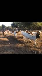Bodes e cabras