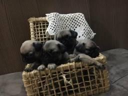 Filhotes de Pug com pedigree !!