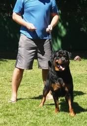 Excepcional Rottweiler fêmea acasalada!!!
