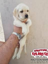 Labrador todas cores, filhotes legítimos, padrão CBKC, parcelamos em 12x sem juros
