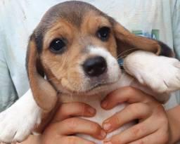Beagle inglês
