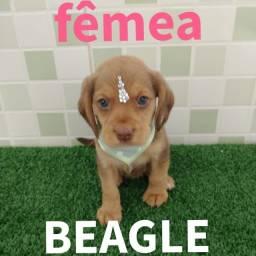 Beagle babys lindos pronta entrega