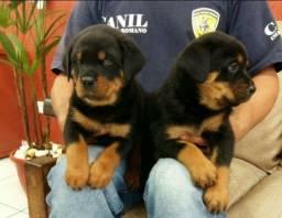 Filhotes de Rottweiler Macho e Fêmea Cabeça de Touro