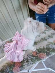 Pincher, roupas para seu Pet