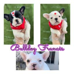 Bulldog frances com pedigree microchip ate 18x