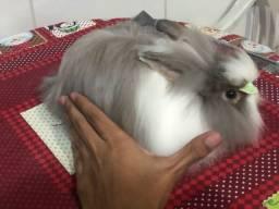 Casal Mini coelho teddy dwerg
