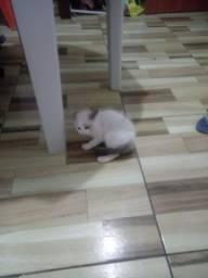 Vendo gata siamês