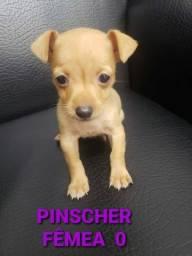 Pinscher macho e fêmea disponível ligue já