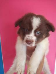 border collie com pedigree e microchip em ate 18x