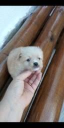 Lulu com pinscher