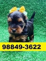 Filhotes Top Cães Yorkshire Maltês Shihtzu Beagle Basset Lhasa Poodle