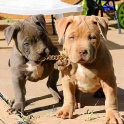 Pitbull fêmeas e machinhos com garantias de vida e saúde