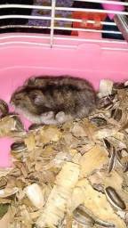 Hamster chinês (sírio)