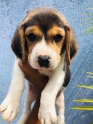 Beagle Filhote Porte Pequeno. Macho. Com Pedigree