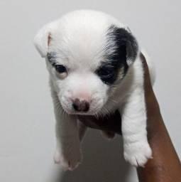 Filhotes Jack Russelk Terrier