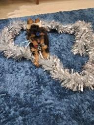Yorkshire Terrier disponível cod01