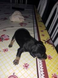 Cachorro pinscher n2