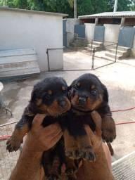 Filhotes rottweiler macho e fêmea