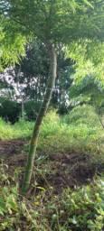Bambus Mosso curvado vários tamanhos