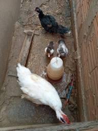 Casais de patos