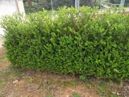 Plantas buxinhos
