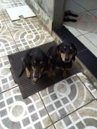 Filhotes de cachorro Basset
