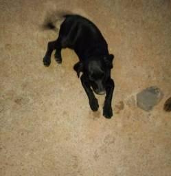 Basset Hound fêmea de 4 meses para adoção