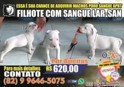 Pitbull American Pitbull Terrier (APBT- Linha de Sangue Lar-San)