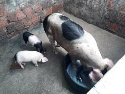 Porcos para venda