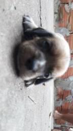 Filhotes de cachorros beagle com estopinha