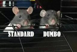 rato twister, dumbo e hairless