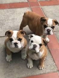 Título do anúncio: Bulldog Ingles macho e fêmea com pedigree no melhor preço !