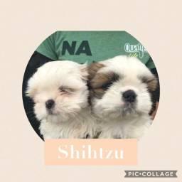 Shih-tzu com pedigree e microchip em ate 18x e