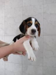 Beagle - lindos filhotes om pedigree para você.