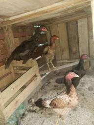 4 galinhas top