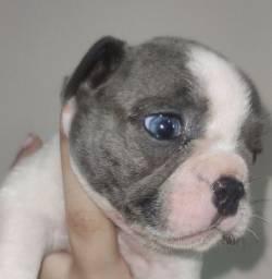 Filhote de bulldog francês macho pirata blue com pedigree