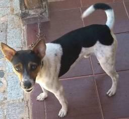 Fox paulistinha(terrier brasileiro)