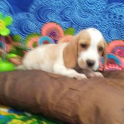 Lindos filhote de Beagles belissimo