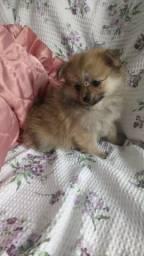 Lindinha lulu com pedigree fofa