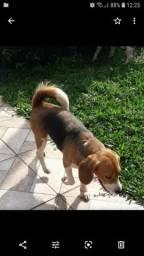Beagle fêmea adulta