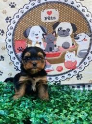 Filhotes de Yorkshire Terrier disponível