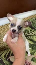 Chihuahua de pelagem curta para reserva