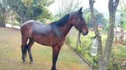 Cavalo manso, marcha batida, muito macio .