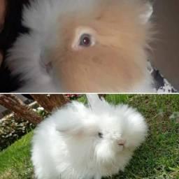 Filhotes de coelhos Teddy