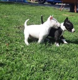 Maravilhosos filhotes de Bull Terrier