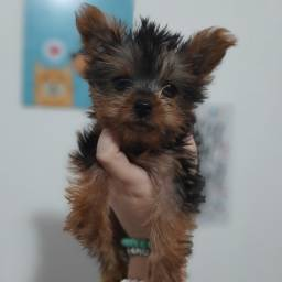 Yorkshire Terrier Filhote Pedigree Garantia de saúde
