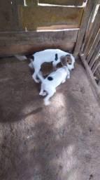 Casal de beagle