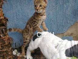 Gato Bengal Macho com pedigree
