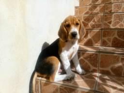 Vende-se filhote de beagle