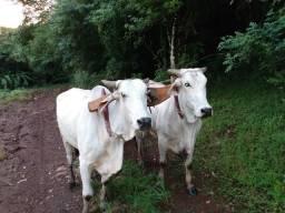 Vendo junta de vacas